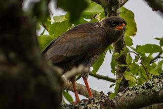 Photo: A semi-adult moulting dark-chanting goshawk; Um semi-adulto açor-canoro na muda.