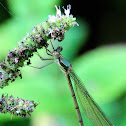 Willow Emerald Damselfly