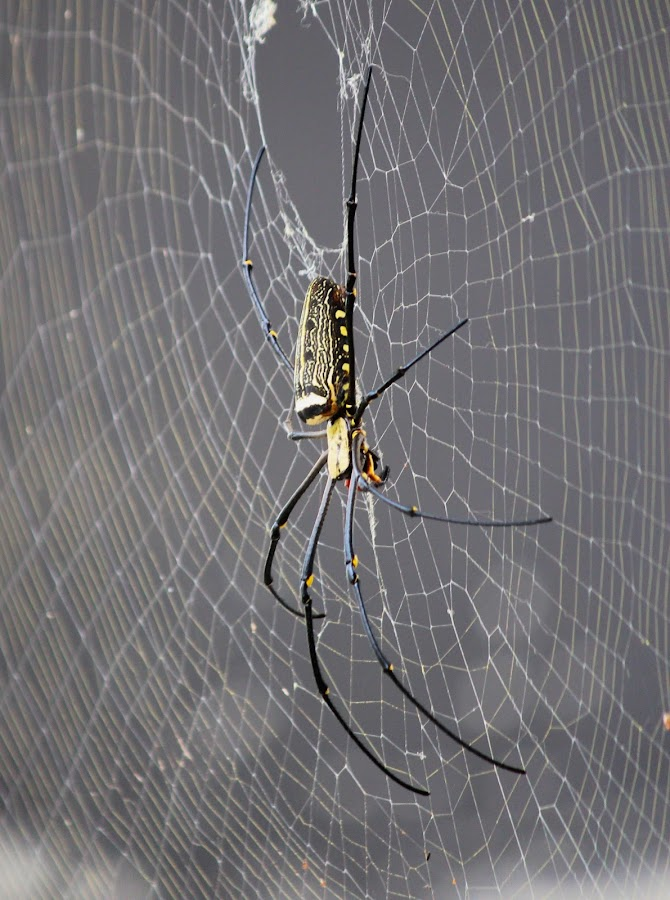 Spider by Kai Jian - Animals Insects & Spiders