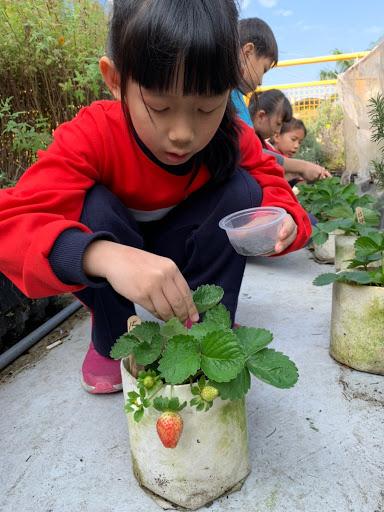1090114綠屋頂草莓收成