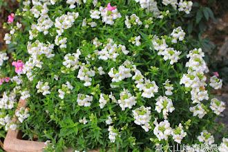 Photo: 拍攝地點: 梅峰-溫帶花卉區 拍攝植物: 囊距花 拍攝日期: 2014_12_17_FY