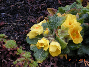 """Photo: We are in """"Winter"""" season - this flower thinks it's either early Spring or still late Autumn ^^"""