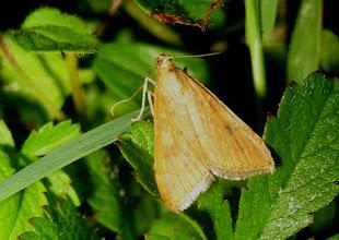 Photo: Udea ferrugalis   Lepidoptera > Crambidae