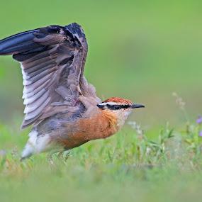 Indian courser. by Prasanna AV - Animals Birds