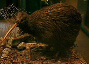 Photo: Kiwi (ausgestopft)