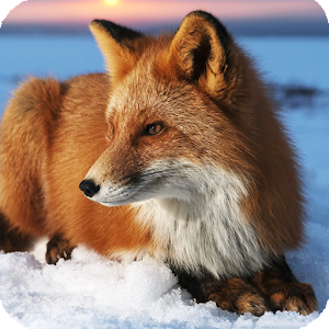 cute fox wallpaper android apps on google play