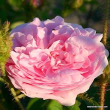 Photo: Historische Rose Muscosa, Züchter: Holland 1796