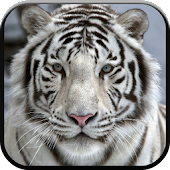 New Beautiful White Tiger Wallpapers