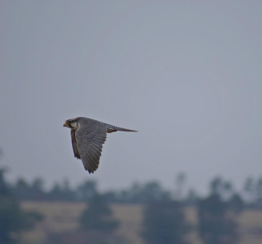 Flight by Amanda Kavanagh - Novices Only Wildlife ( bird, raptor )