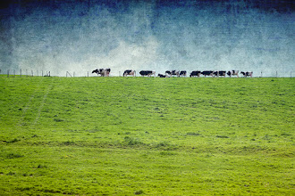 Photo: Line of Cows