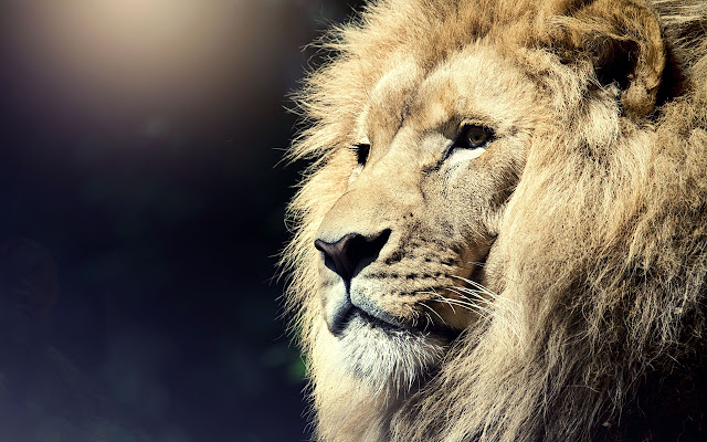 Lions Wallpapers Lion New Tab Theme