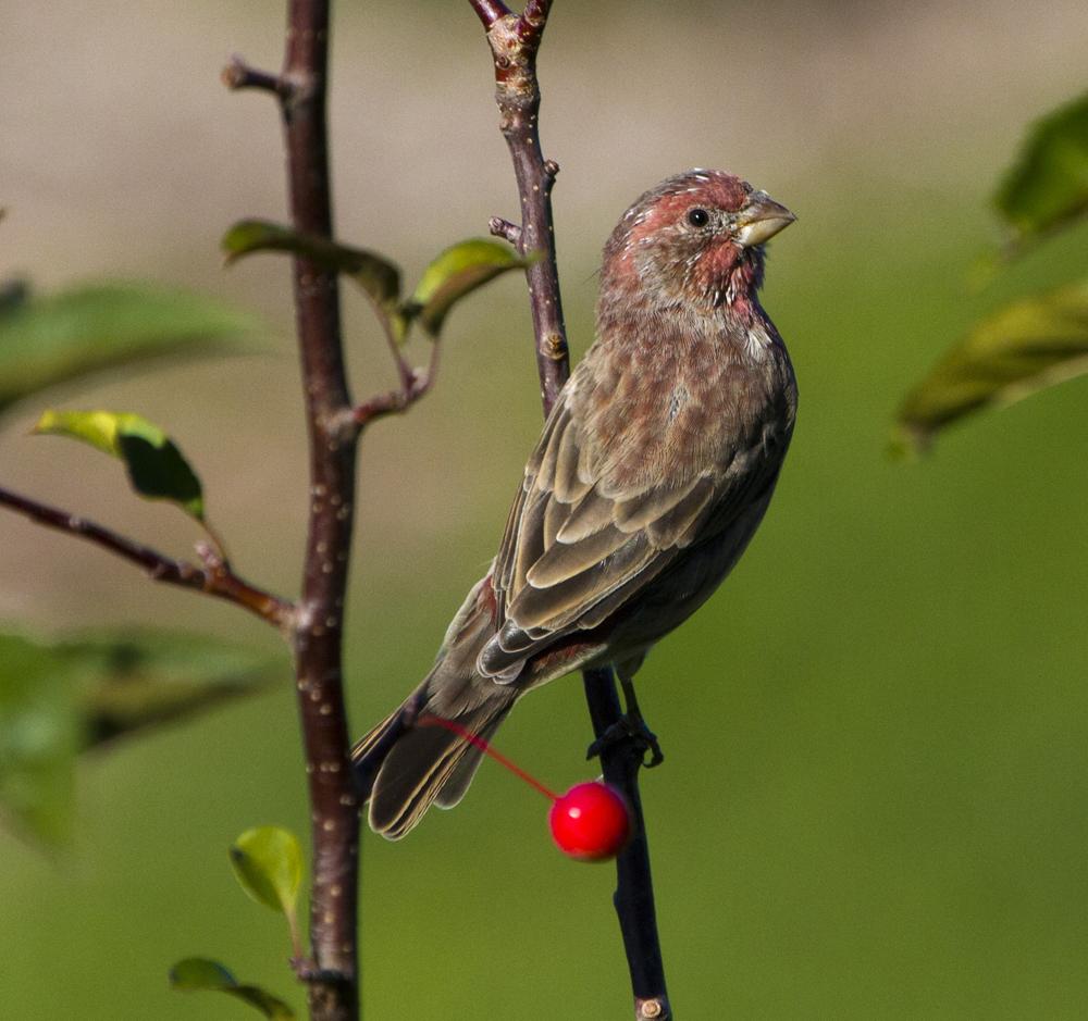 Photo: House Finch (Haemorhous mexicanus) #backyardbirdingmonday  curated by +Celeste Odono & +Ricky L Jones #Canon #Birds #backyardbirding #Monday #Nature