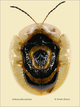 Photo: Ischnocodia annulus, 6,6mm, Costa Rica, Corcovado NP (08°27´/-83°29´), leg. Erwin Holzer, det. Lech Borowiec