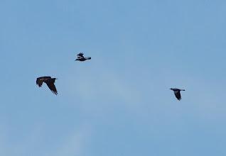 Photo: Magpies harrassing Osprey - Giralang