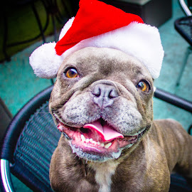 Santa Happy! by Meaghan Browning - Animals - Dogs Portraits ( holiday, frenchie, santa, christmas, hat )