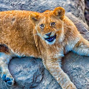 Lioness-Growl.jpg