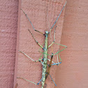 Giant Walkingstick  (mating)