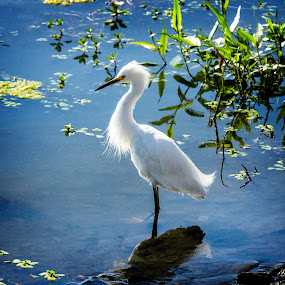 White Egret by Sharon Leckbee - Animals Birds ( bird, waterscape )