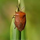 Lychee Giant Stink Bug