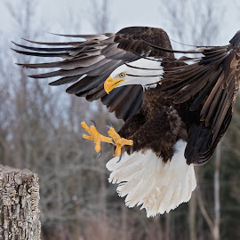 Bald Eagle Landing by Jen St. Louis - Animals Birds ( in flight, raptor, bird of prey, wings, eagle, bald eagle, birds in flight )