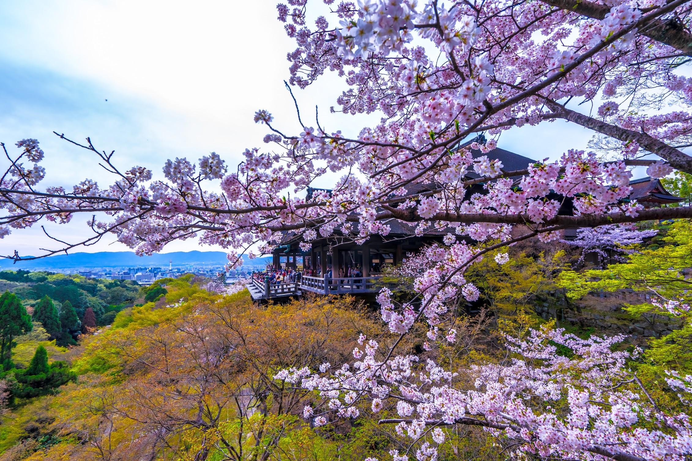 京都 清水寺 桜2