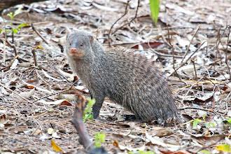 Photo: Banded Mongoose
