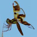 Eastern Amberwing(female)