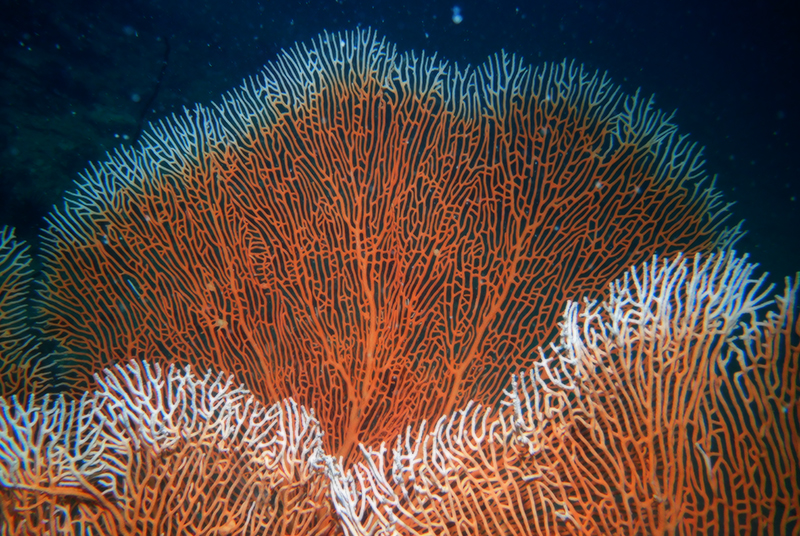 Giant gorgonian fan coral