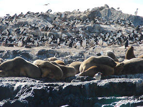 Photo: Imperial cormorants and sea lions - Beagle Channel -  pelagic trip out of Ushuaia, Tierra del Fuego,  Argentina - Nov 24, 2010