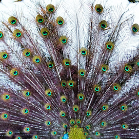 Peacock by Mitch Lassiter - Animals Birds ( bird, zoo, feathers, birds, peacock )