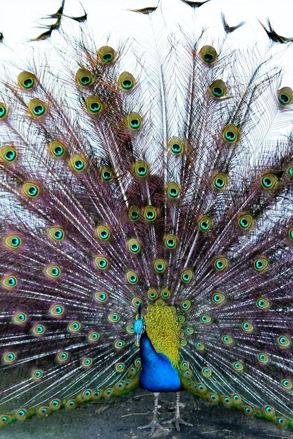Peacock by Mitch Lassiter - Animals Birds ( bird, zoo, feathers, birds, peacock )