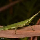 Long-headed grasshopper