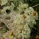 Coral Lichen