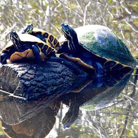 Turtle Trio by Debbie Squier-Bernst - Instagram & Mobile iPhone