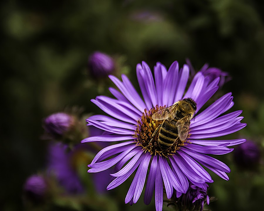The neighbor by Marijan Skabic - Animals Insects & Spiders ( nature, bee, neighbor, close up, flower )