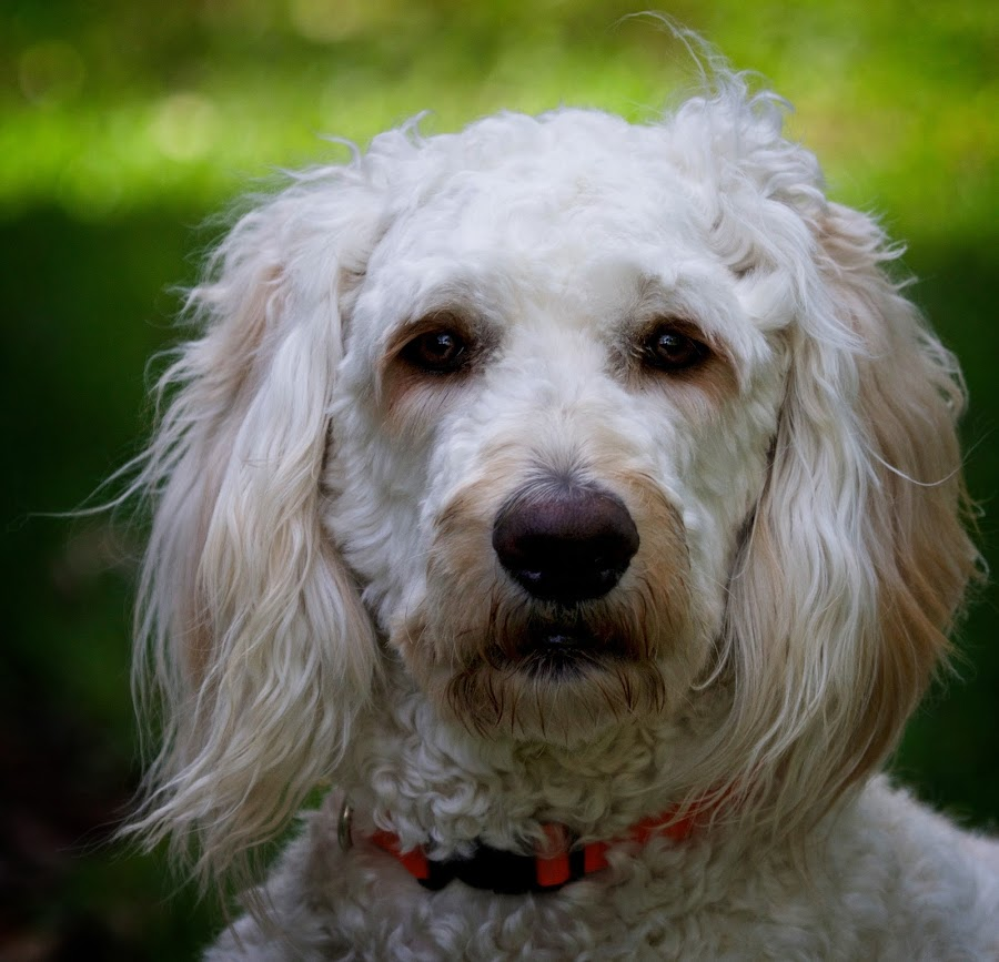 Portrait of a goldendoodle puppy by Sandy Scott - Animals - Dogs Portraits ( mammals, canine, fluffy, labradoodle, pets, dog portrait, dog, domestic animals, portrait, goldendoolde, eyes,  )
