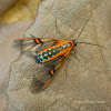 Cosmosoma Tiger Moth