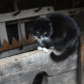 Black Cat by Bonnie Lea - Animals - Cats Portraits