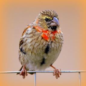 by Melody Pieterse - Animals Birds (  )