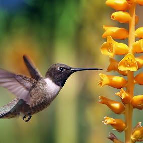 Hummingbird and bee by William Lee - Animals Birds ( bird, nature, bee, hummingbird, wildlife, flowers, garden,  )