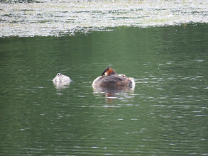 Photo: 3 Jul 13 Priorslee Lake: One of the new juvenile Great Crested Grebes declares UDI. (Ed Wilson)