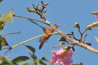 Photo: Cinnamon Hummingbird