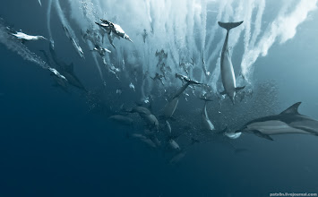 Photo: cape gannets and dolphins chasing moving fish