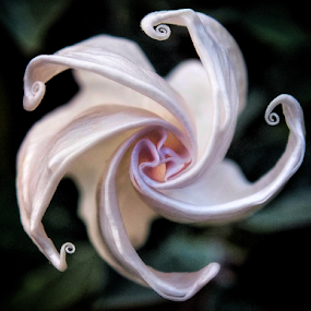 Twisted by Milena Radić - Flowers Single Flower ( macro, nature, twisted, up close, macro photography, nature up close, flower,  )