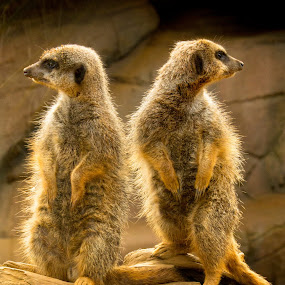 Meerkats by Andrew Moore - Animals Other Mammals (  )