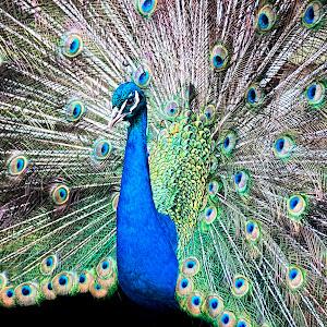 peacock1.jpg