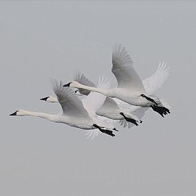 Tundra Swans ! by Jan Siemucha - Animals Birds ( flight, swans, sky, birds, tundra swans )