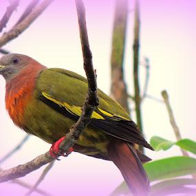 Punai by Yusop Sulaiman - Animals Birds