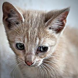by Pieter J de Villiers - Animals - Cats Kittens
