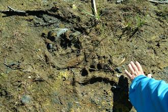Photo: Bear Tracks